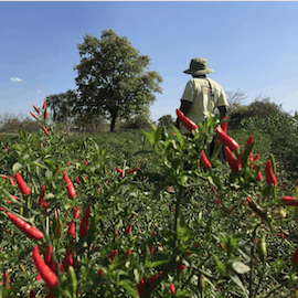 A chile farmer tending to his crops